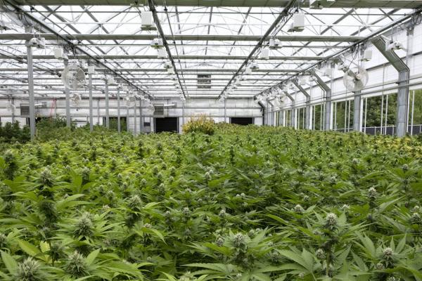 Journée technique sur la culture du cannabis en France :